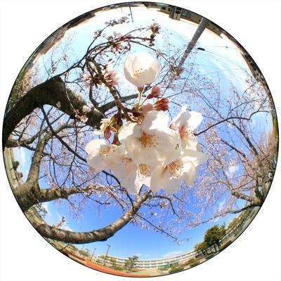 近所の小学校の7分咲きの桜2