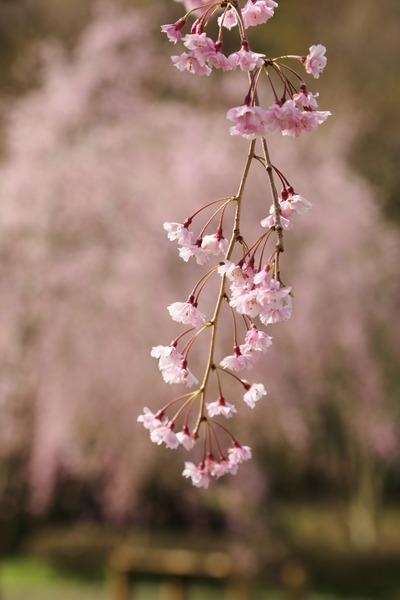 県立公園の枝垂れ桜