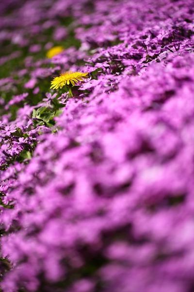 「ジュピアランドひらた」の芝桜8