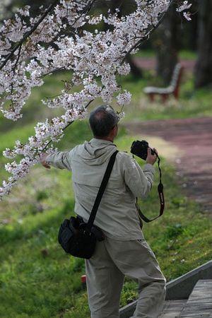 川沿いの桜3