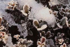冬の朝に咲く華