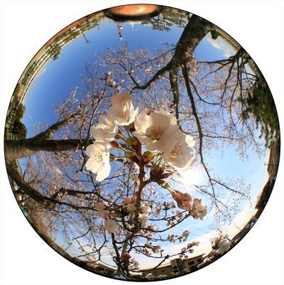 近所の小学校の7分咲きの桜1