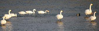 夏井川の白鳥1