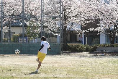 満開の桜、白土公園1