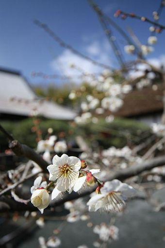 春を告げる梅の開花