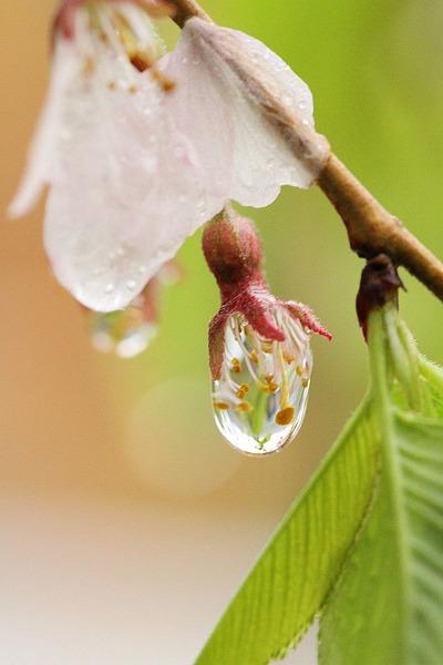 雨の桜撮影2