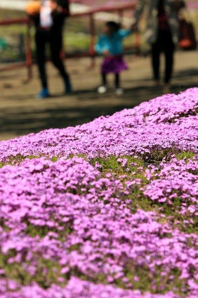 「ジュピアランドひらた」の芝桜9