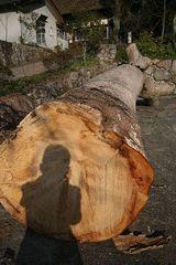 横たわる大木