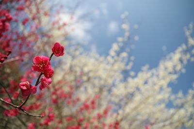 梅の季節2