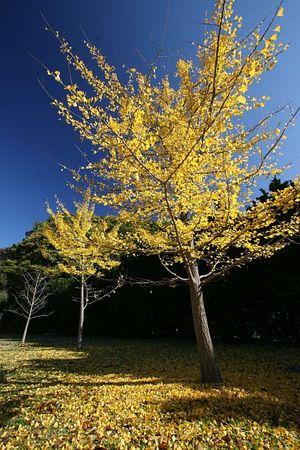 真っ黄色な銀杏の落葉