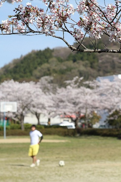 満開の桜、白土公園2