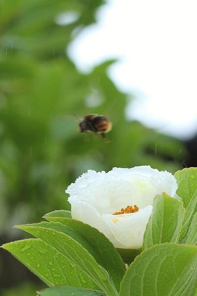 シャラとミツバチ①