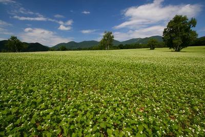 奥会津の蕎麦畑2