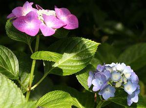 庭のアジサイ2