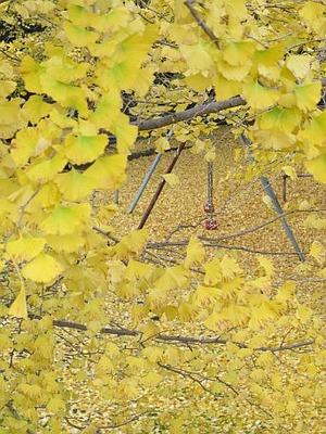 銀杏の絨毯4