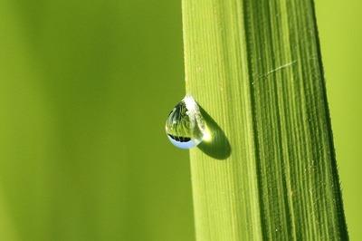 稲の水滴①