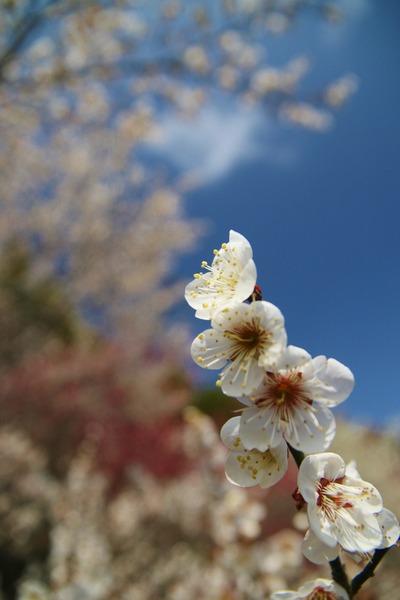 梅の季節1