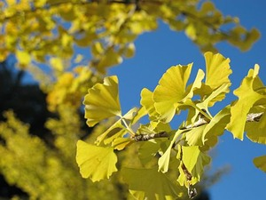 黄色い紅葉と言えば・・・