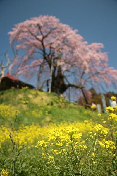 桜・満開2