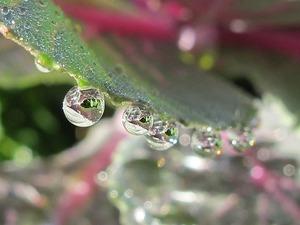 葉ボタン・水滴2