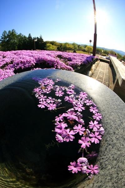 「ジュピアランドひらた」の芝桜2