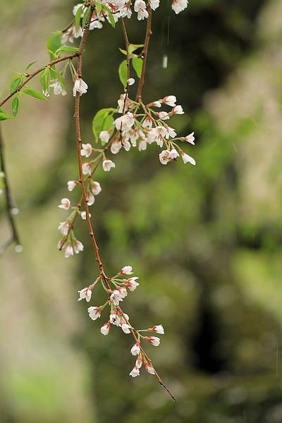桜がはらり・・・