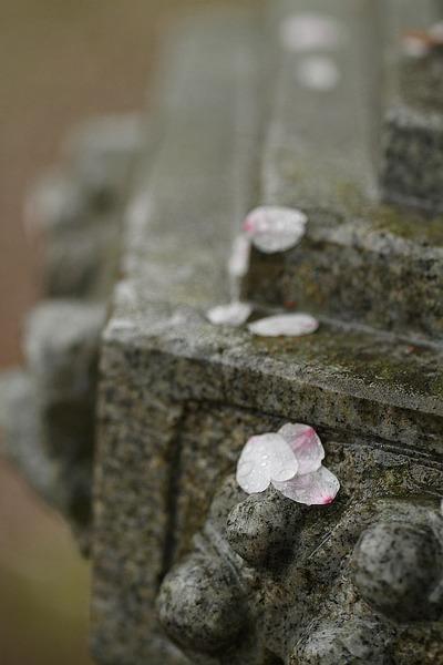 桜と日本人3