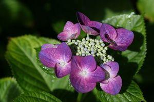 庭のアジサイ1