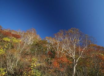 「紅葉」と「コバルトの空」のベストマッチ