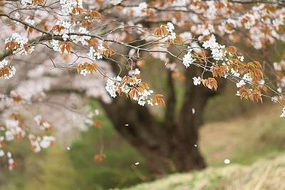 落花に風情を感じる