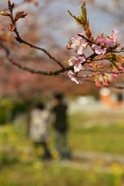 勿来の河津桜2