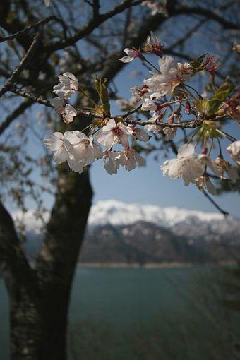 田子倉の春
