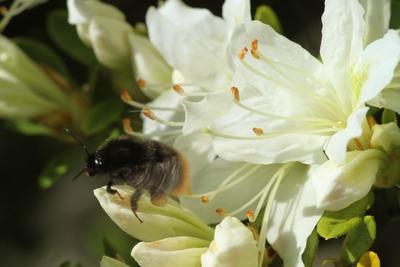 蜜蜂に魅せられる