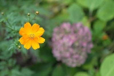 キバナコスモスと紫陽花?・・・1