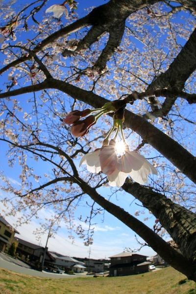 近所の小学校の7分咲きの桜3