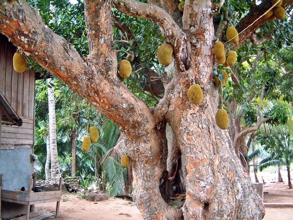 ジャックフルーツの木と果実