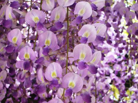 藤の花紫アップ