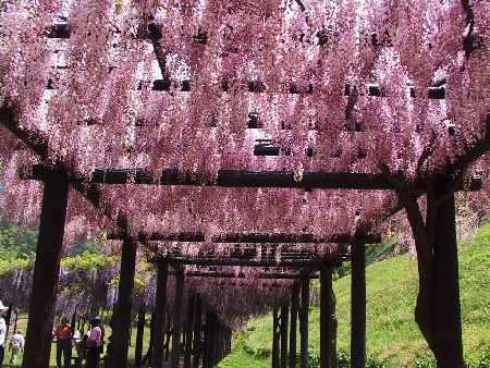 藤の花ピンク