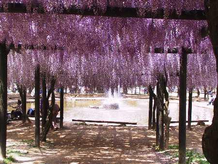 藤の花と池