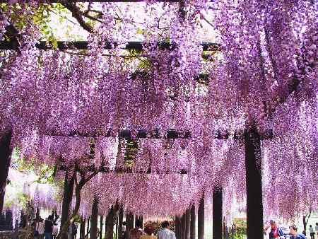 藤の花並木