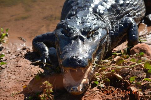 ブラジル パンタナール 動物 ワニ (7)
