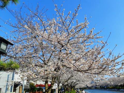 桜2020_3