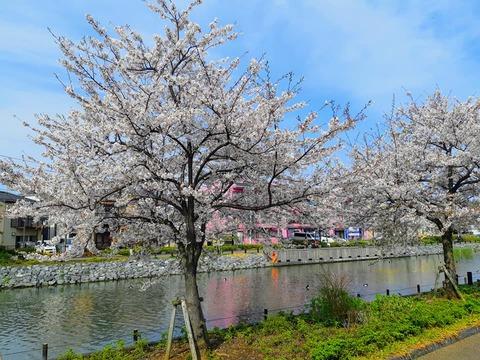 桜2020_4
