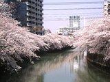 megurogawa_sakura