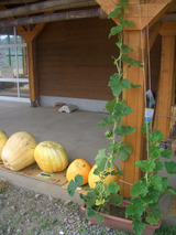 ジャンボかぼちゃと坊ちゃん