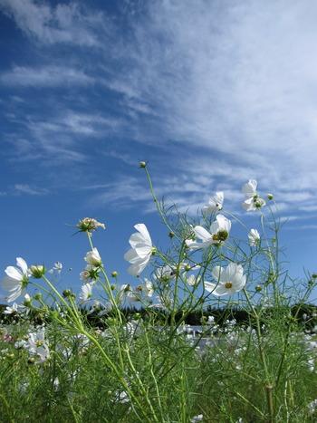コスモス白花