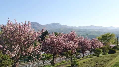 R2-5-21 ②八重桜と手稲山