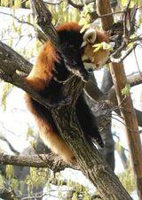 レッサーパンダのキンタ
