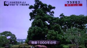 1000sugi