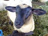 ごろーさんの羊